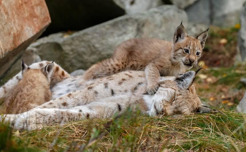 Jēkabpiliešus <strong>aicina izvēlēties vārdus</strong> Rīgas Zoo piedzimušajām lūšu meitenēm