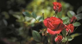 Aktuālie darbi <strong>rožu dārzā</strong>