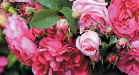 <strong>Pilnzieda laiks</strong> rožu dārzā