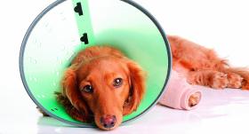Laiks pēc operācijas. <strong>Radoši padomi suņa aktīvai atlabšanai</strong>