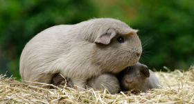 Kā <strong>pareizi rūpēties</strong> par grūsnu jūrascūciņu