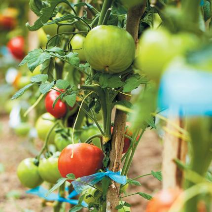 <strong>Nacionālais auglis</strong> — tomāts