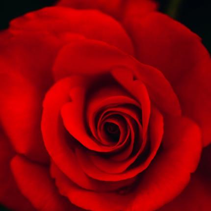 Roze, kas <strong>uzzied negribēta</strong>