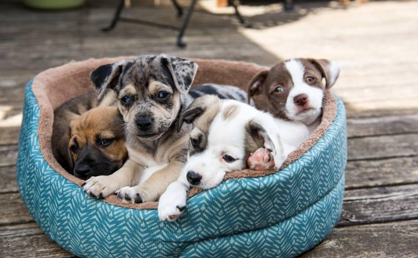 Vēlos šķirnes suni! <strong>Kas jāņem vērā pirms kucēna iegādes</strong>