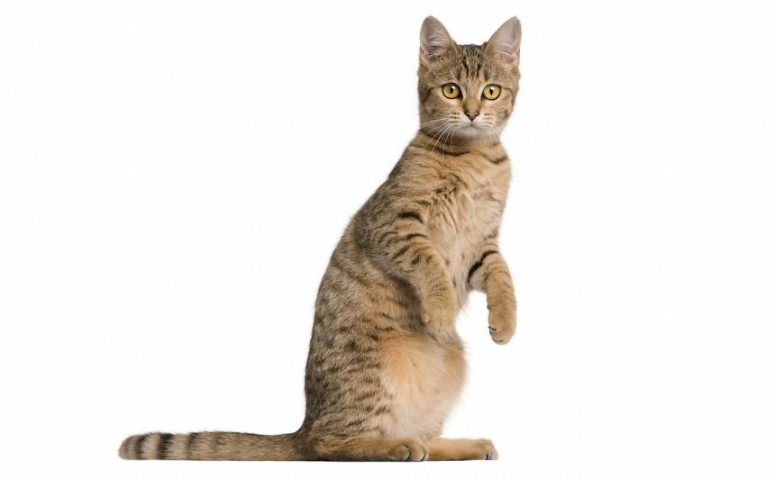 Kāpēc kaķi stāv <strong>uz pakaļkājām</strong>?