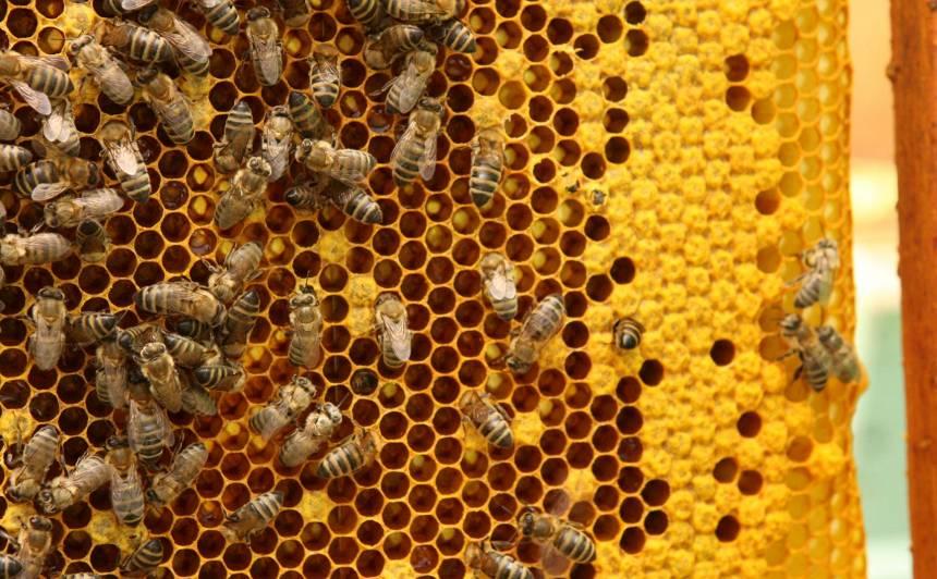 <em>Saldie</em> mājdzīvnieki — <strong>bites</strong>