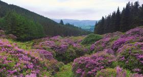 Kā pazust <strong>Īrijas rododendros</strong>