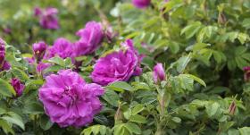 Lai dzīvo <strong>lielais rožu krūms!</strong>