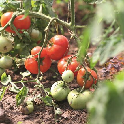 <strong>Kas šobrīd darāms</strong> tomātu siltumnīcā?