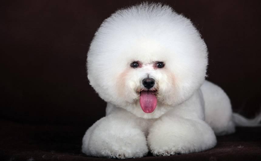 Suņu smaidīgais princis — <strong>frizē bišons</strong>