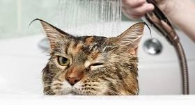Cik bieži vannot kaķi <strong>un vai vispār vajag to darīt?</strong>