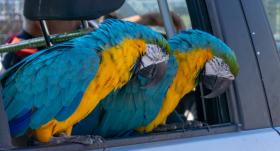 Kā pārvadāt mašīnā <strong>papagaili</strong>
