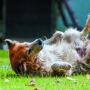 Kāpēc suņi vārtās <strong>smirdīgās vietās</strong>