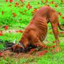 5 populārākie iemesli, <strong>kāpēc suns rok bedres</strong>
