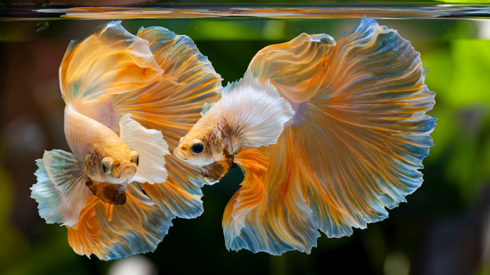<strong>Brīnumaini košā</strong> akvāriju <em>puķe</em>