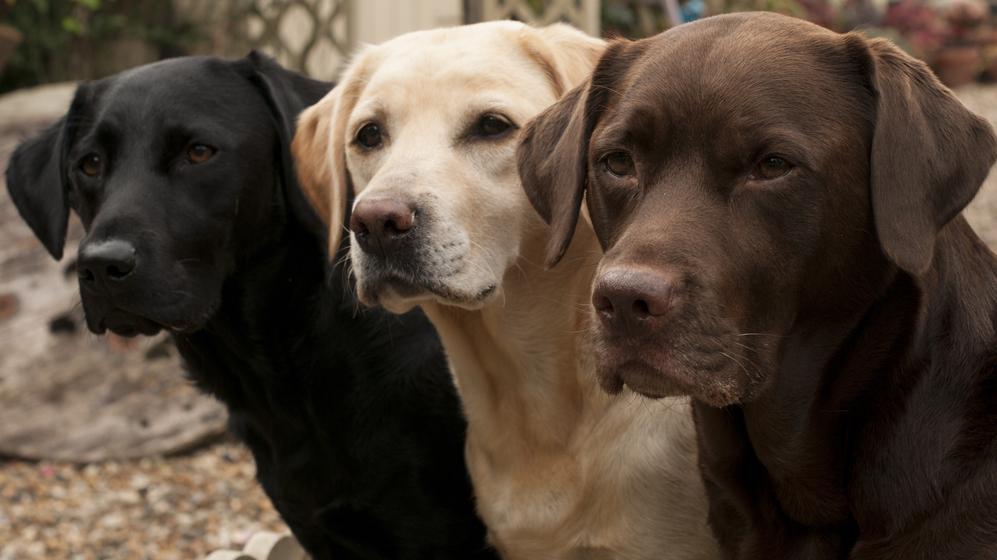Labradors — <strong>cilvēka labākais draugs</strong>
