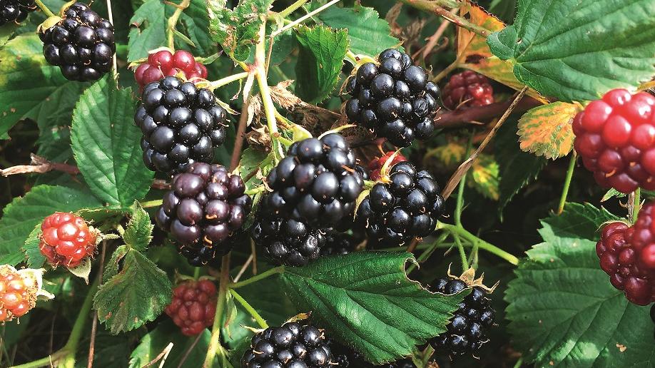 Melnā cūcene Rubus nessensis