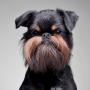 Suns ar <strong>pērtiķīša ģīmīti</strong> — grifons