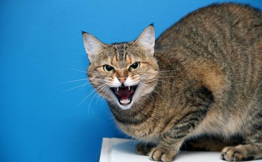 <strong>Kāpēc kaķis šņāc</strong> uz saimnieku