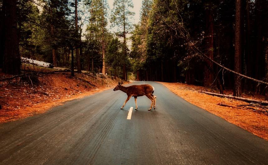 Brīvdienās notikuši <strong>12 ceļu satiksmes negadījumi ar meža dzīvniekiem</strong>