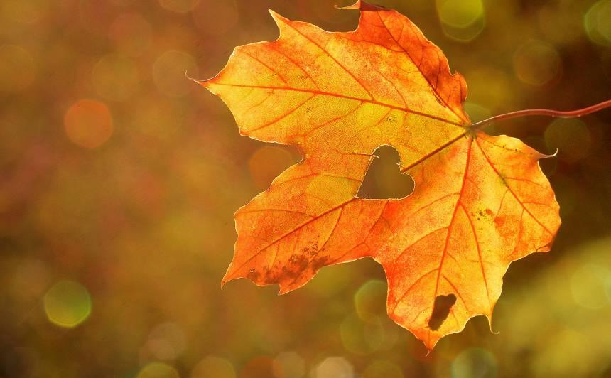 Rīdzinieki <strong>bez maksas</strong> varēs nodot savāktās koku un krūmu lapas