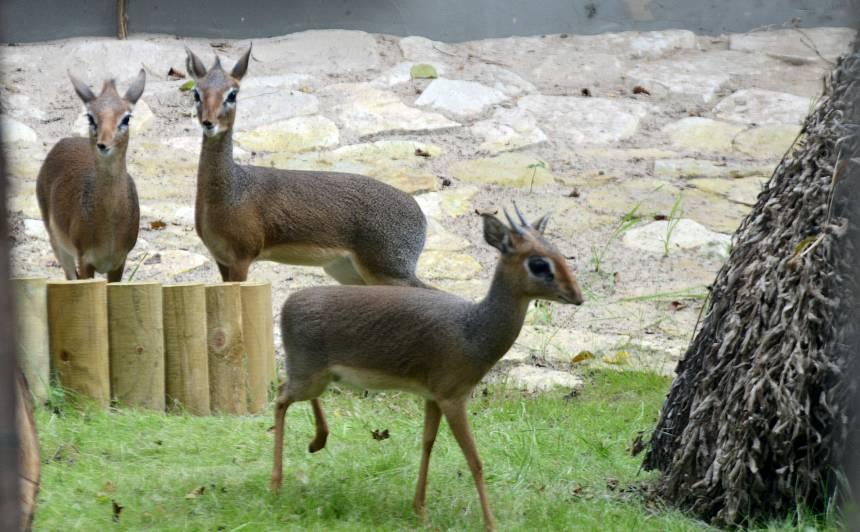 <strong>Rīgas Zoodārzs aicina uz pastaigu pa Āfriku — </strong> atklāj <em>Āfrikas savannas</em> ekspozīciju