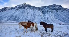 <strong>Vistīrākā zirgu šķirne — </strong> Islandes zirgi