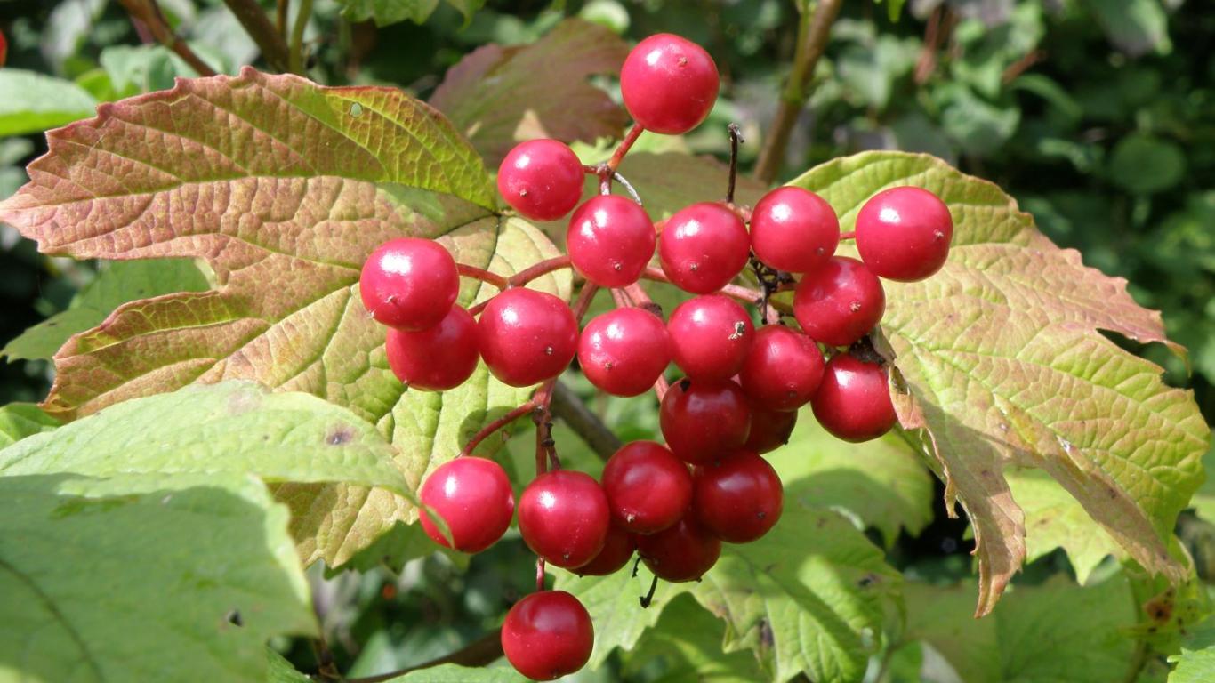 No parastās irbenes ziediem pēc apputeksnēšanās attīstās koši sarkani kauleņi, kuri ārēji atgādina ogas.