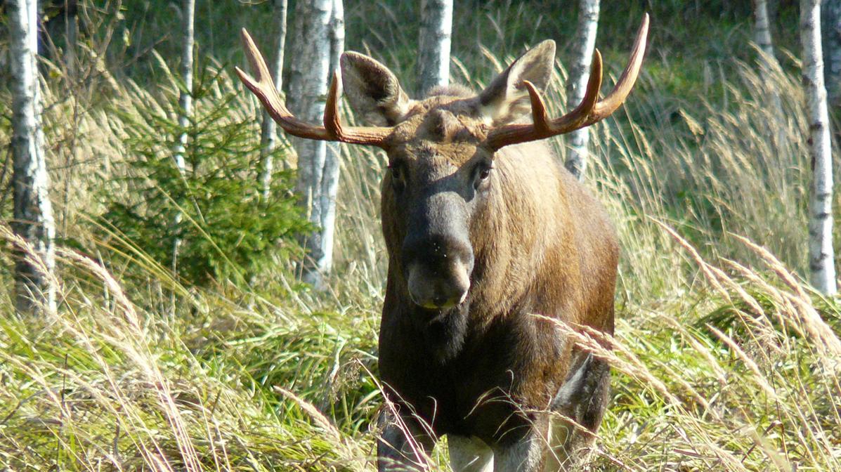 Līgatnes dabas takās <strong>aicina uz gada dzīvnieka – aļņa – dienu</strong>