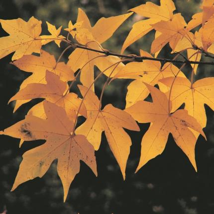 <strong>Košam rudens dārzam –</strong> kļavas
