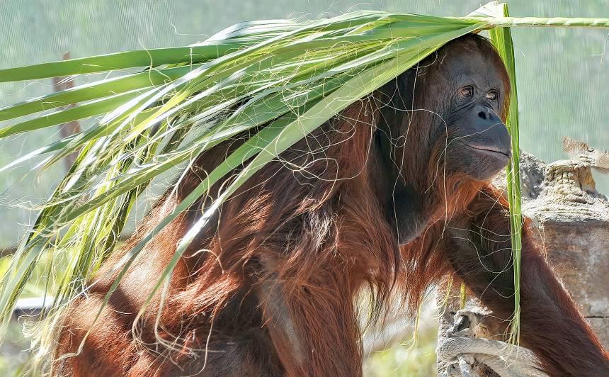 <strong>Orangutāna mātītei tiesa piešķir dažas cilvēka pamattiesības</strong> — viņa sāk jaunu dzīvi Floridā