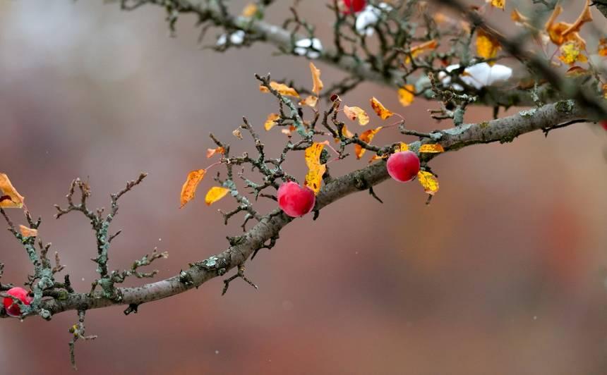Novembra darbi <strong>augļu un ogu dārzā</strong>