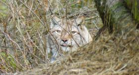 Līgatnes dabas takās aicina iepazīt <strong>dzīvnieku pēdas dabā</strong>