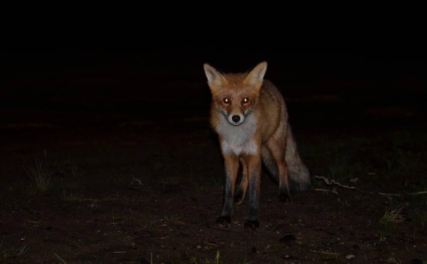 Līgatnes dabas takās <strong>nakts pārgājienos varēs iepazīt dzīvnieku dzīvi tumsā</strong>