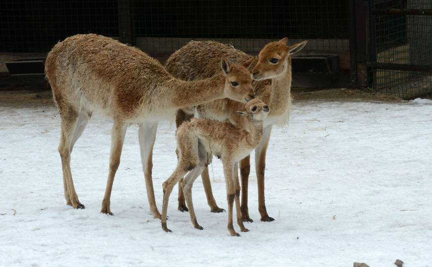 Rīgas Zoodārzā — <strong>Ziemas naktis un jauni mazuļi</strong>