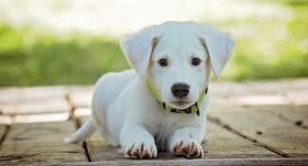 Turpmāk īpašniekiem <strong>suņi ar mikroshēmu būs jāreģistrē līdz 4 mēnešu vecumam</strong>
