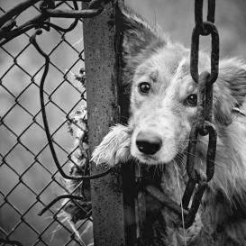 Kandavas novadā izņem <strong>34 nežēlīgos apstākļos turētus suņus</strong>