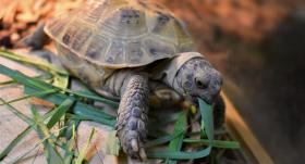 Saimniekiem-iesācējiem — <strong>kādi dzīves apstākļi jānodrošina bruņurupucim</strong>