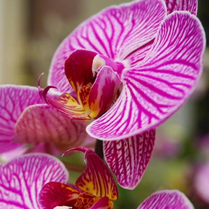 Kā ziemā pirkt orhideju?