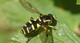 FOTO: Par 2020.gada kukaiņiem izvēlētas <strong>ziedmušas</strong>
