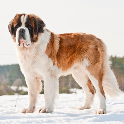 <strong>Suns ar sniega izjūtu</strong> — sanbernārs