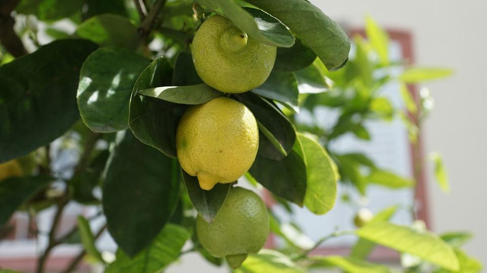 <strong>Pašam savs citronkoks?</strong> Tas ir iespējams!