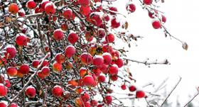 Kad un kā vākt ziemas ābolus?