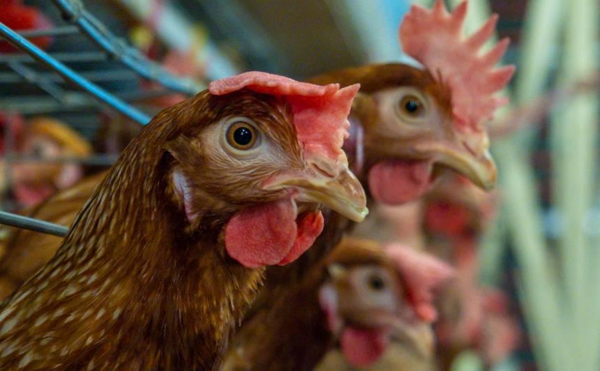 Putnu gripas dēļ tiks ierobežota <strong>mājputnu turēšana ārā</strong>