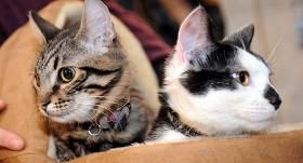 <strong>Rīgas domes kaķi Kuzja un Muris</strong> pārcēlušies uz dzīvi Ušakova Rīgas birojā