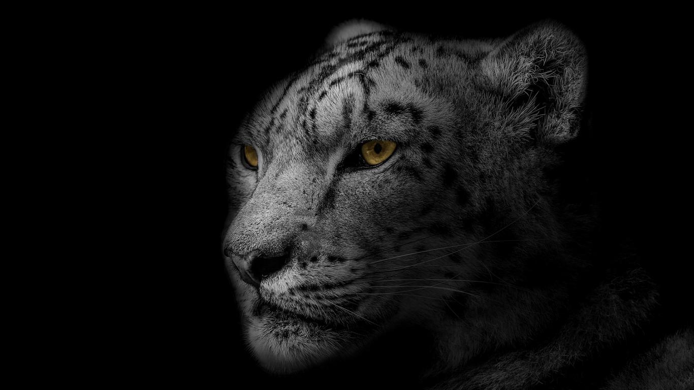 Policija sākusi kriminālprocesu par <strong>melnā leoparda turēšanu dzīvoklī Rīgā</strong>