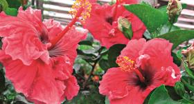 Lai tava <strong>ķīnas roze krāšņi ziedētu</strong>