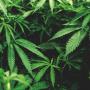 Dūmi apšaubāmam <em>prieciņam</em> jeb <strong>marihuāna izraisa aizvien vairāk psihožu</strong>