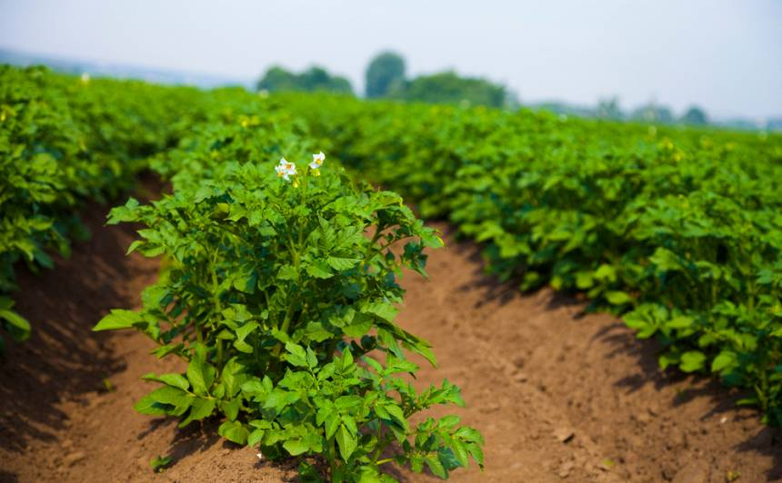 <strong>8 svarīgi principi,</strong> audzējot kartupeļus