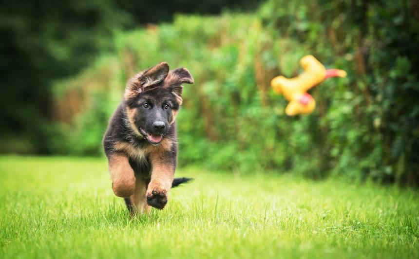 Svarīgi jautājumi, <strong>kas jāņem vērā pirms suņa iegādes</strong>